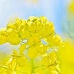 菜の花(小さな幸せ・競争)